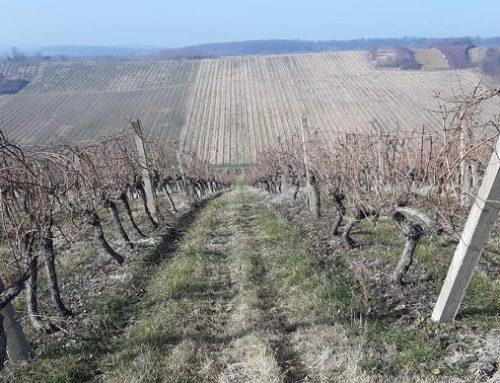 Blagoslov vinograda i mladog vina u Trnavi